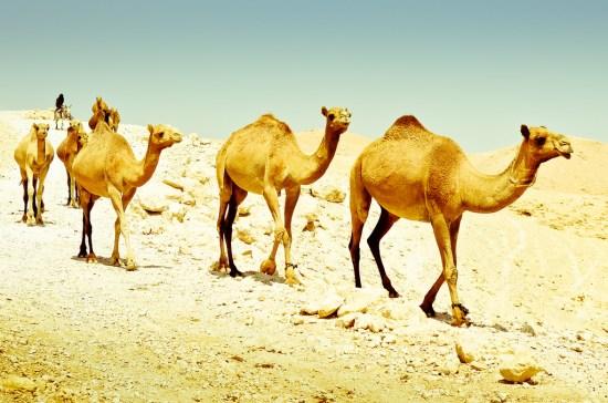 A Camel Convoy in the Judaean Desert, Israel. (Photo Source: amira_a via Flickr)