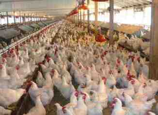 Poultry Business Plan in Nigeria Free PDF and Doc Download