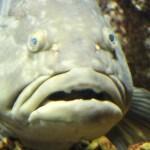 クエ 鍋 高級魚