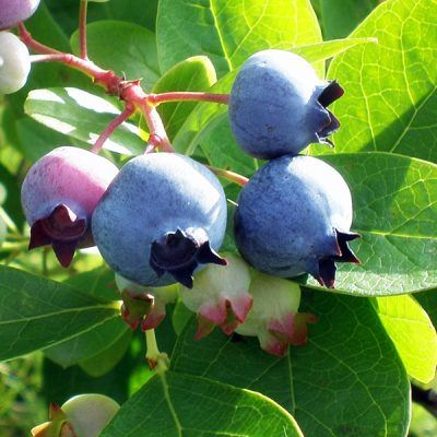 blueberries blueberry plants for