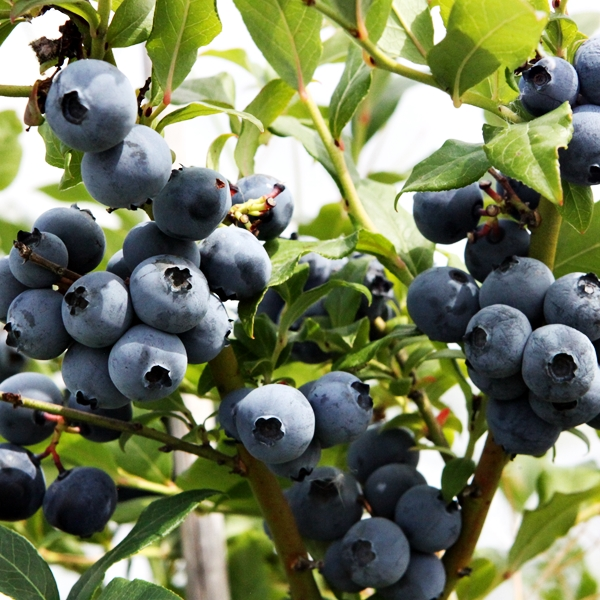 blueberry hortblue petite 3l