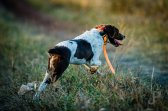 Cory Stokes dog Annie bounds across a trail as she hunts for pheasant.