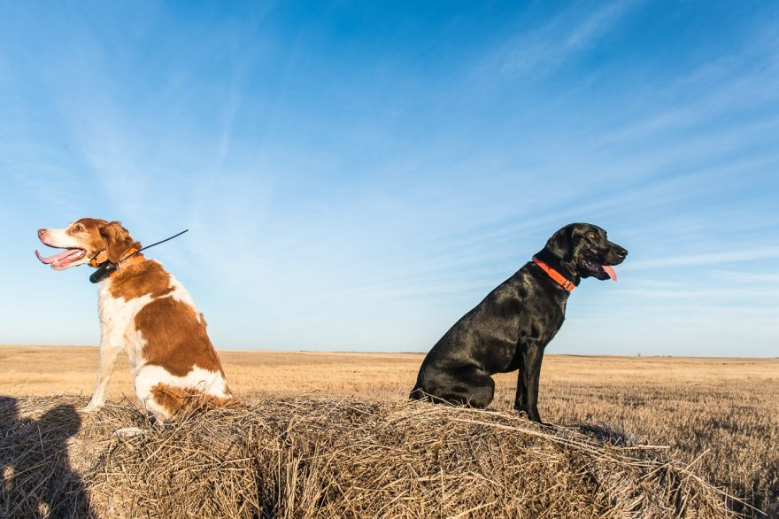 Norm Lippert's pointer and Vance Felder's lab Ruger pose for a picture on the hay bales as we wait for the sun to sink on the horizon on the last day of our hunt.
