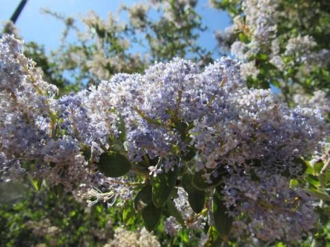 Fire-adapted shrub Ceanothus