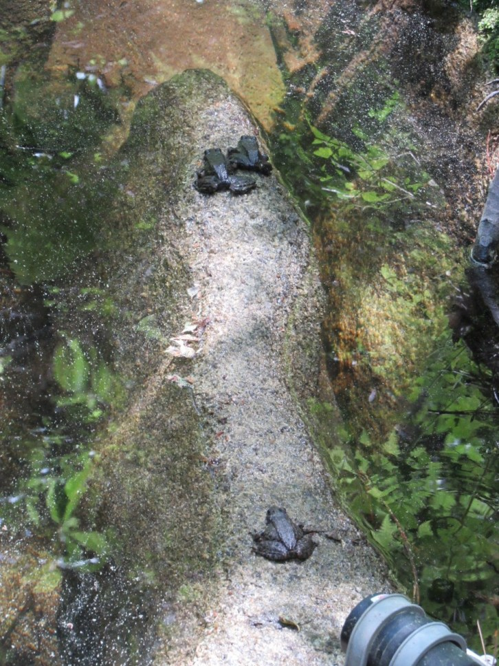 Mountain yellow-leged frogs at the James Reserve