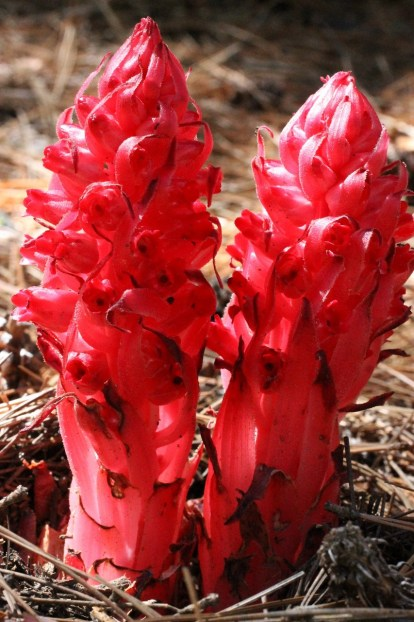Snow plant, an early spring saprophytic plant at the James