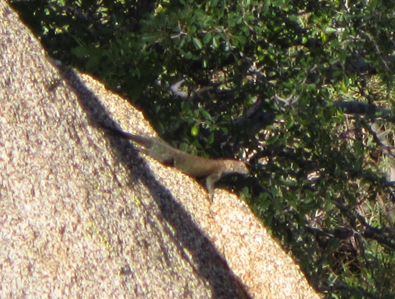 One of many species of lizards found in Los Osos