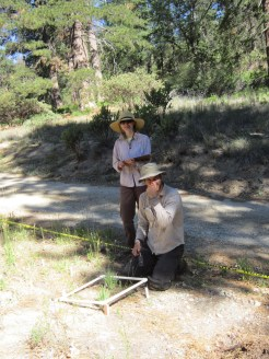 Research on the invasive species Plantago