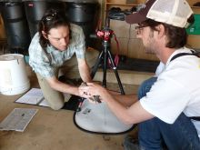 Measuring California quail for a study of quail genetics