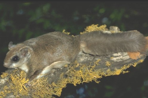 San Bernardino Flying Squirrel: Stock photo. This species was last reported in Idyllwild in 1997.