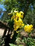 Lemon lily