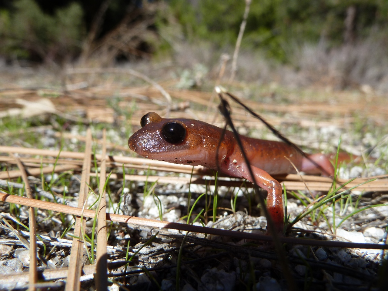 Monterey salamander