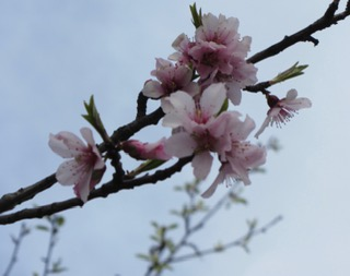 Blossom in the gardens