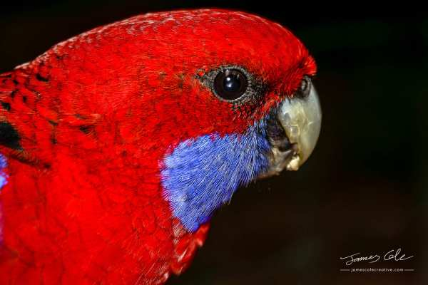 Close up of native Australian Rosella bird with a red head and flash of blue