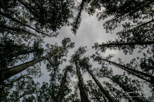 JCCI-100081 - Looking straight up into the gloomy grey tree canopy