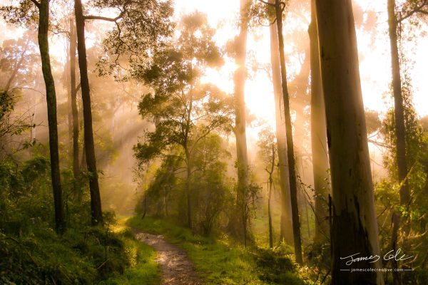 JCCI-100124 - Godrays from the golden sunrise shine through the misty forest trees