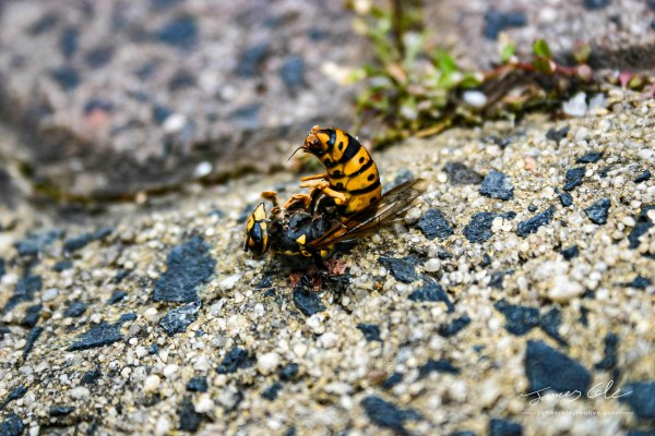 JCCI-100141 - A Bright Yellow and Black dead European wasp being eaten by ants on a sandy concrete ground