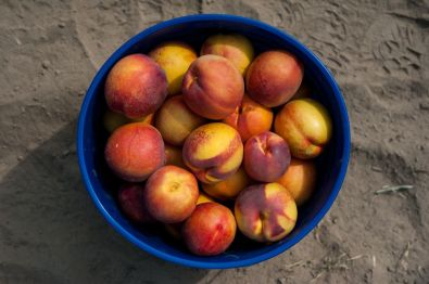 Masumoto-Farms-Peach-Adoption-12
