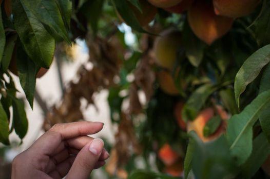 Masumoto-Farms-Peach-Adoption-6
