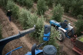 PR-Farms-Olive-Harvest-4