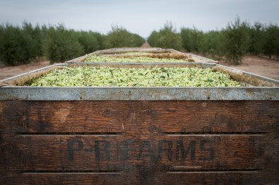 PR-Farms-Olive-Harvest-7