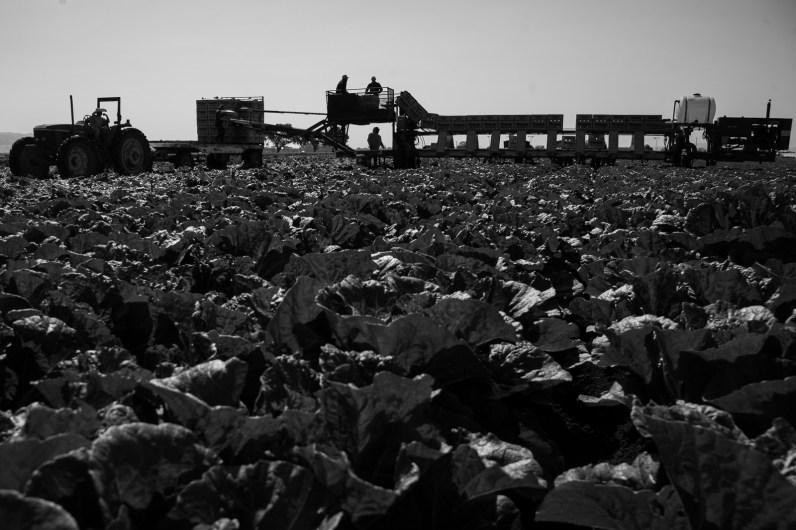 Uesugi-Farms-Harvest-12