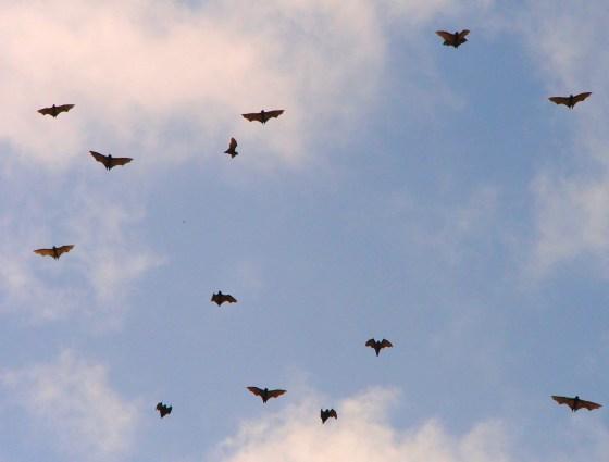 Wild fruit bats