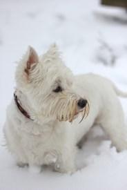 west highland terrier, westie, walking, snow, pet, dog, cute, amersham, buckinghamshire
