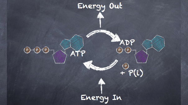 Atp-pc energy system resynthesis