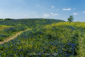 Random Picture of the Week #18: Texas Bluebonnets on a Hill