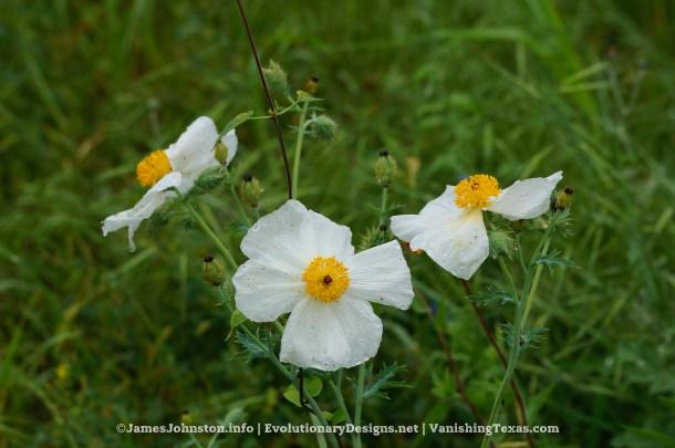 White Prickly Poppy - Texas Wildflowers