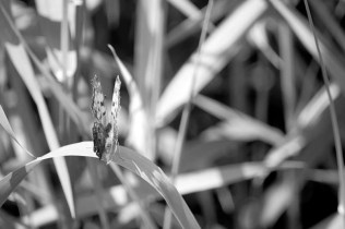 Butterfly Tall Grass Black and White