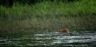 Beaver Playing