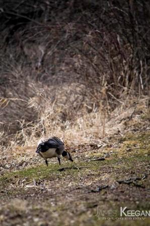 Canada Goose_0033