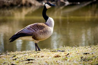 Canada Goose_0076