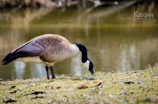 Canada Goose_0079