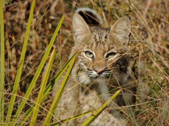 A Bobcat in the Grass