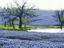 Wildflowers- A Field of Texas Bluebonnets