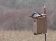 Tree Swallow Nest Box via the Tree Swallow Project
