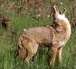 Coyote Howling via Washington Department of Wildlife, by Ty Smedes