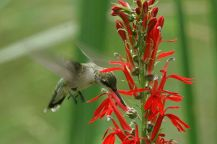 Native Plant via Mother Nature Network on Cardinal Flower, by Bill Buchanan/USFWS/flickr