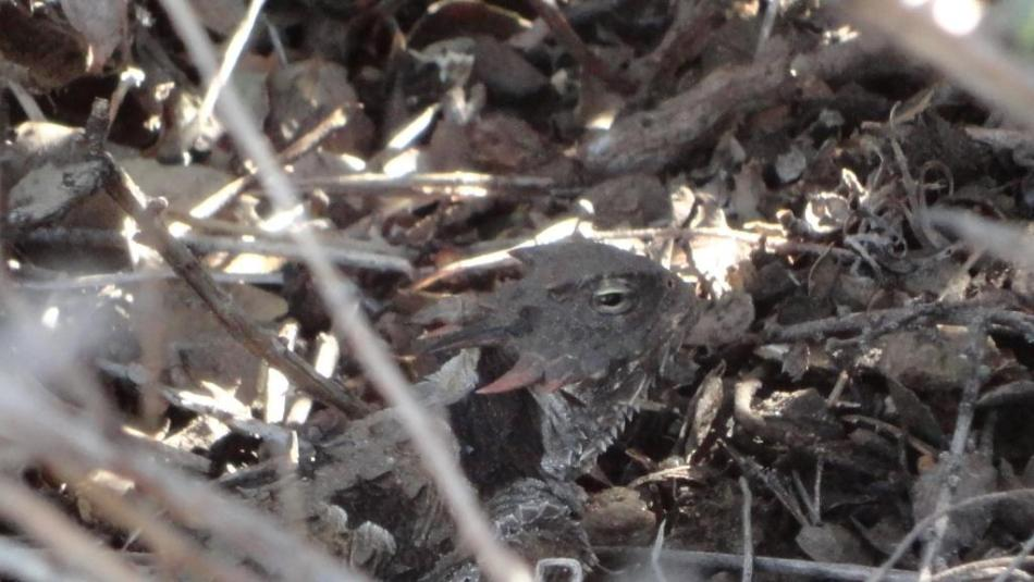 Horny Toad, Cuyamaca Mountains, San Diego County, CA
