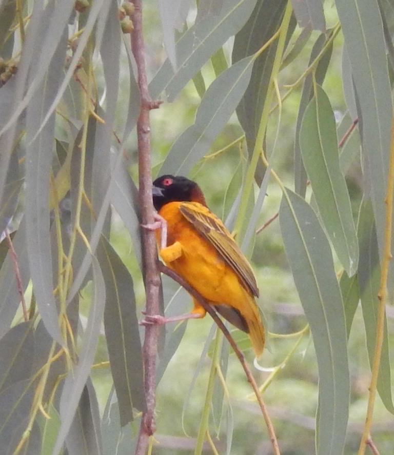 Velingara Birds