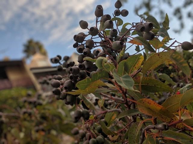 Gumnuts at Kirribilli