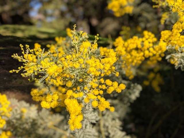 Wattle in bloom at Sydney's Botanical Gardens
