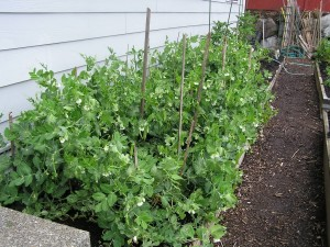 growing-peas