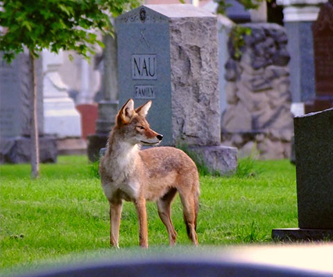 Healthy populations of coyotes live in many, if not most, major cities. This coyote makes home in a cemetery in Chicago.  Photo by Steve Sorensen.