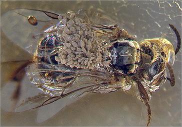 bee_pollen_fossil.jpg