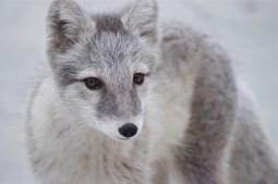 Arctic Fox, Pyramiden, Svalbard