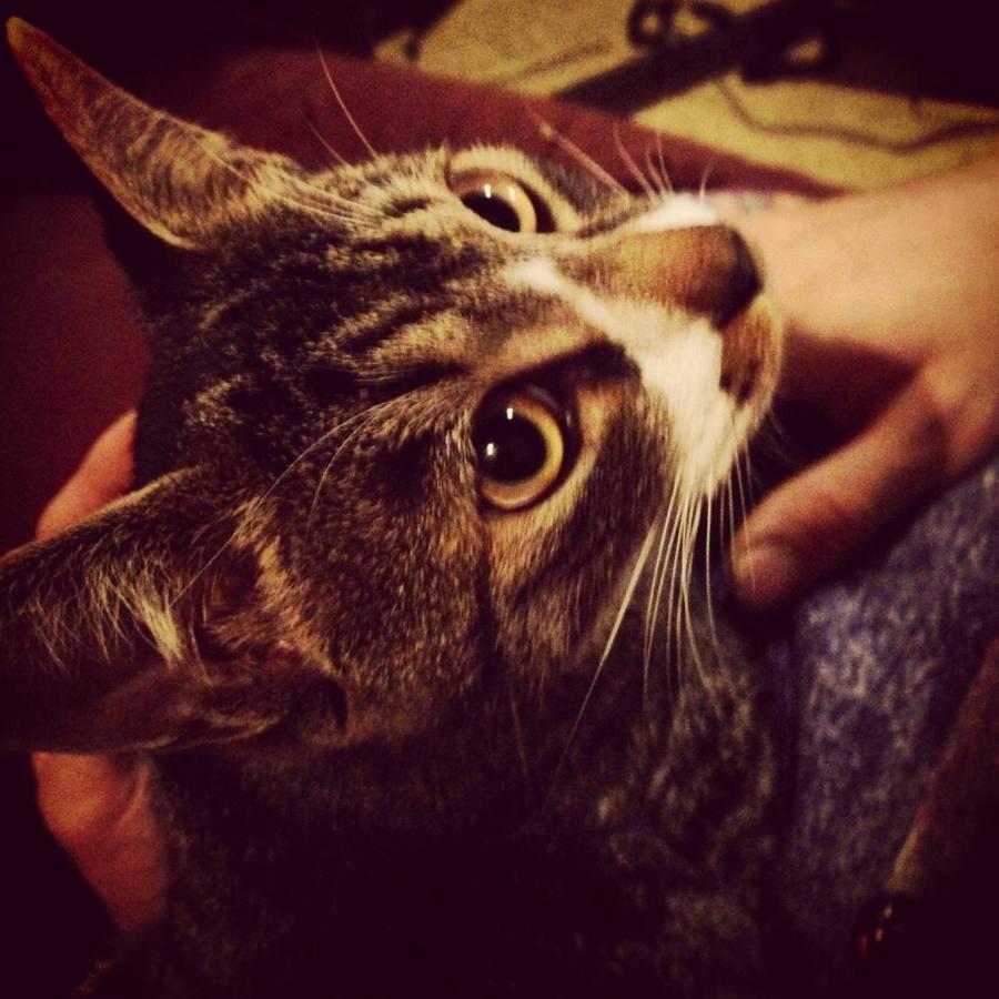 猫探してます。名前は一福(いっぷく)です。